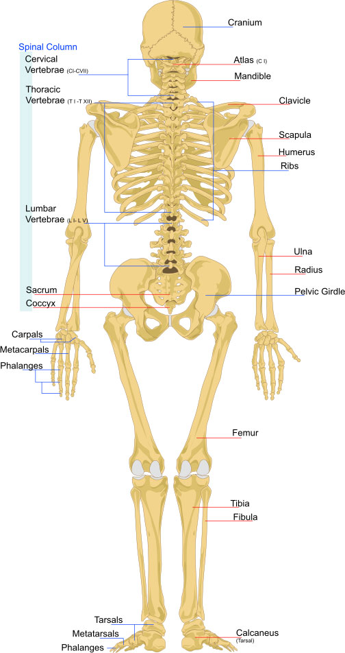 human-skeleton-structure