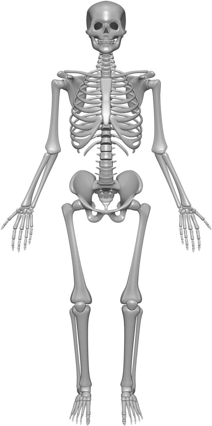 skeleton system -  structure   composition   facts