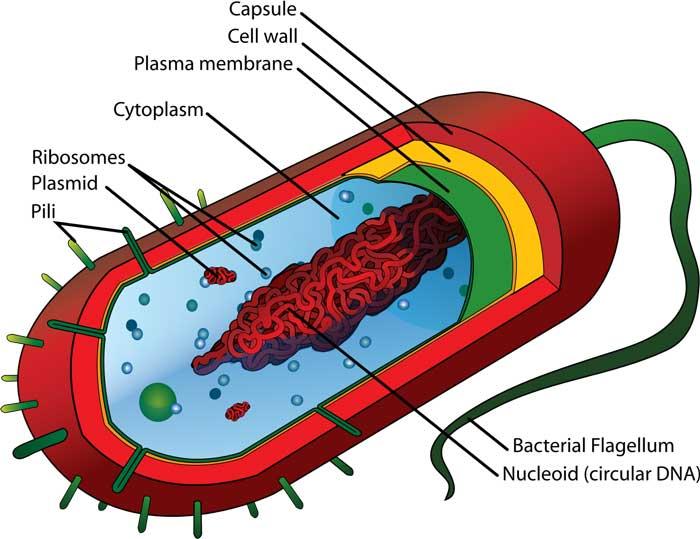 prokaryote-cell