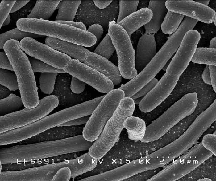 rod-bacteria