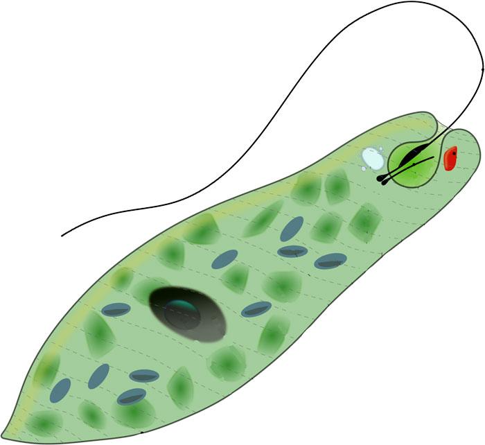 Euglena-protist