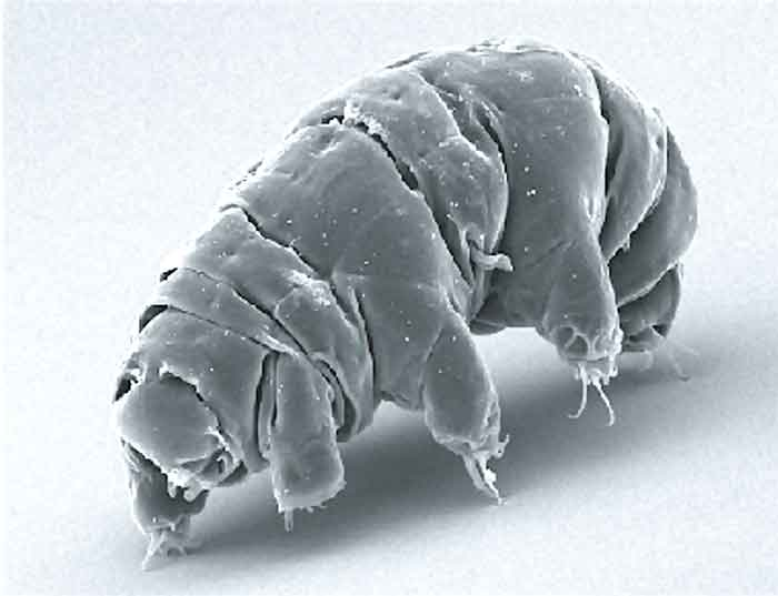 tardigrade-image-from-scanning-electron-microscope