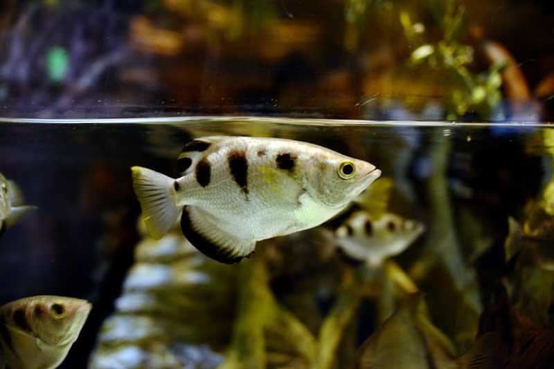 Archerfish-in-water