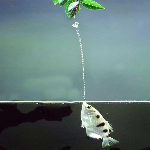 Archerfish-water-jet
