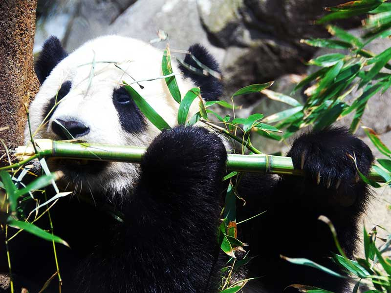 Giant-Panda-eating-bamboo