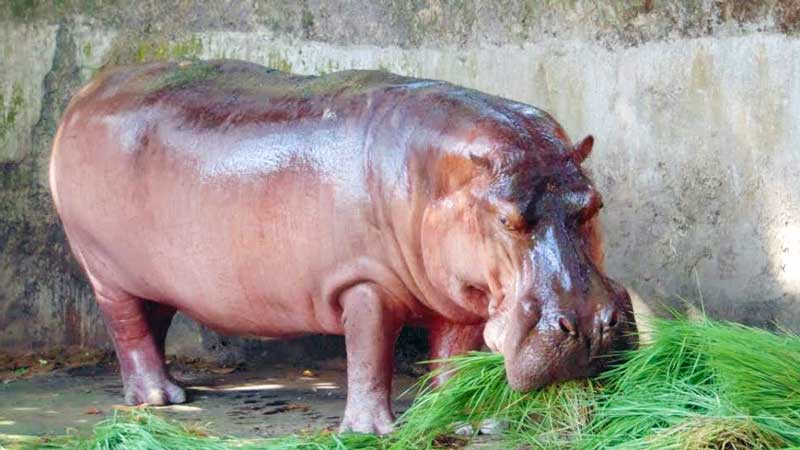 Hippopotamus-eating-grass