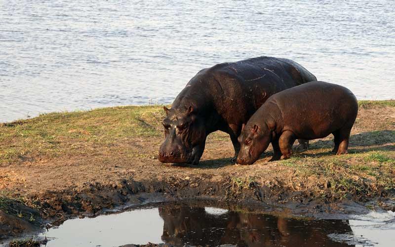 Hippopotamus-with-its-baby