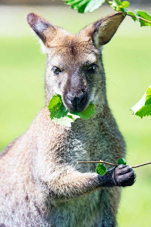 Kangaroo-eating-leaves