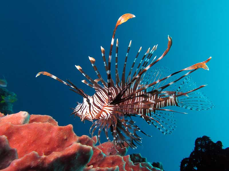 Lionfish-near-coral