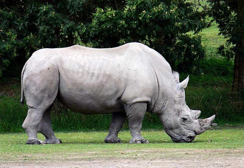 Rhinoceros-in-forest