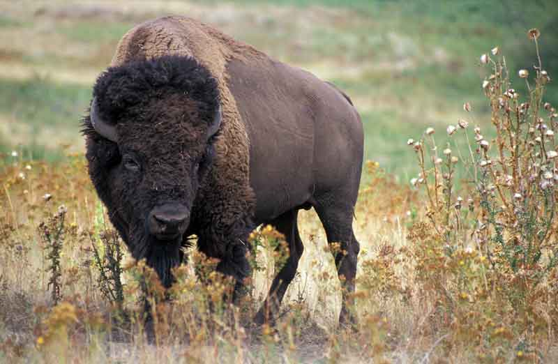 bison-in-grass
