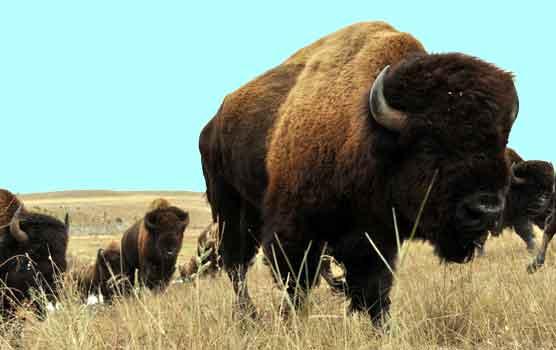 bisons-in-herd
