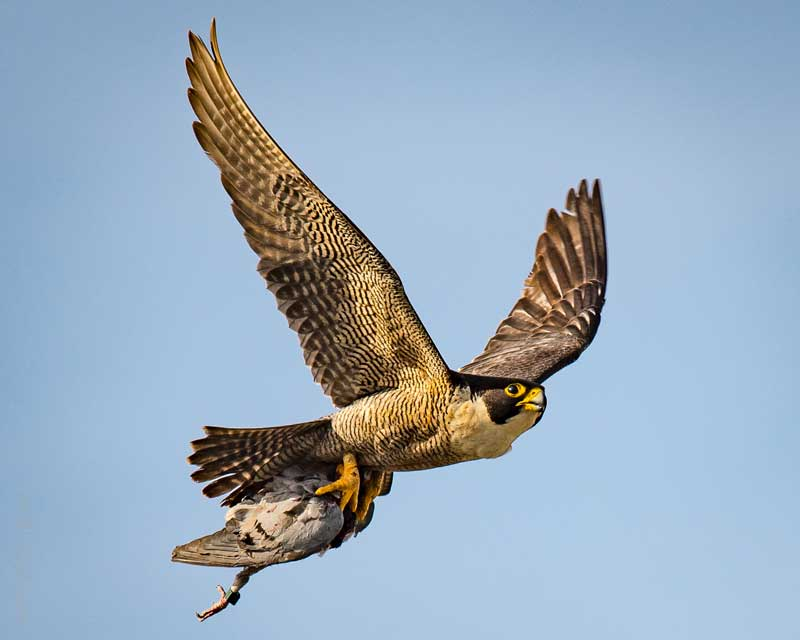 flying-peregrine-falcon