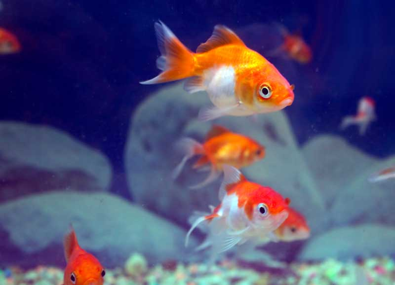 goldfish-in-group
