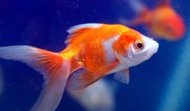 goldfish-in-ocean