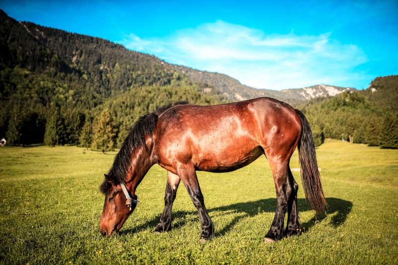 horse-grazing-in-field