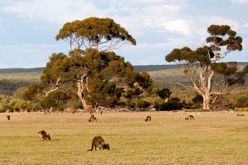 kangaroo-family-in-jungle
