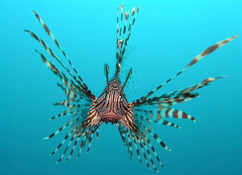 lionfish-in-ocean
