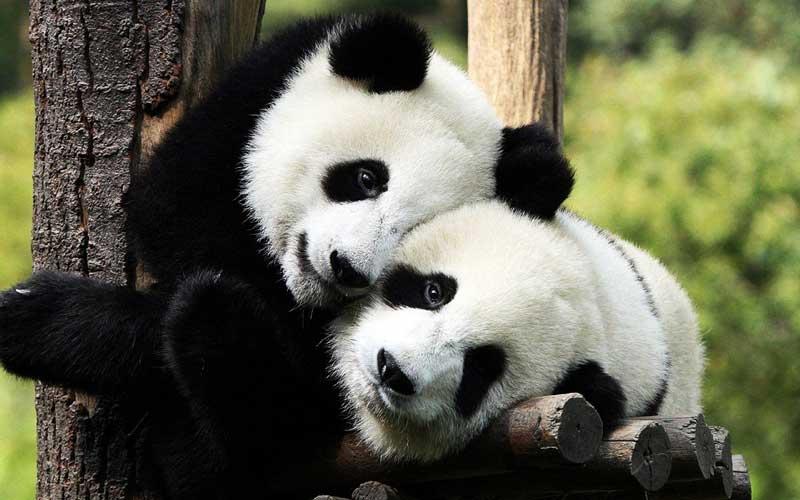 pandas-playing