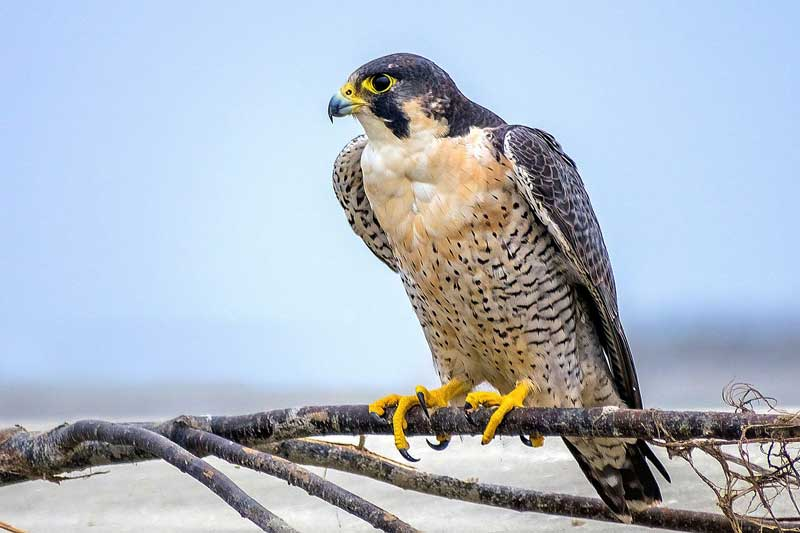 peregrine-falcon-on-the-branch-of-tree