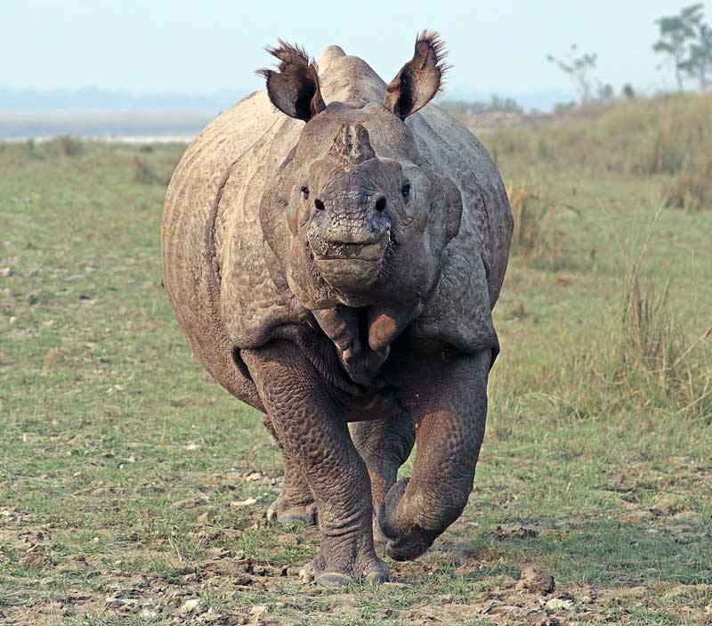 running-Rhinoceros