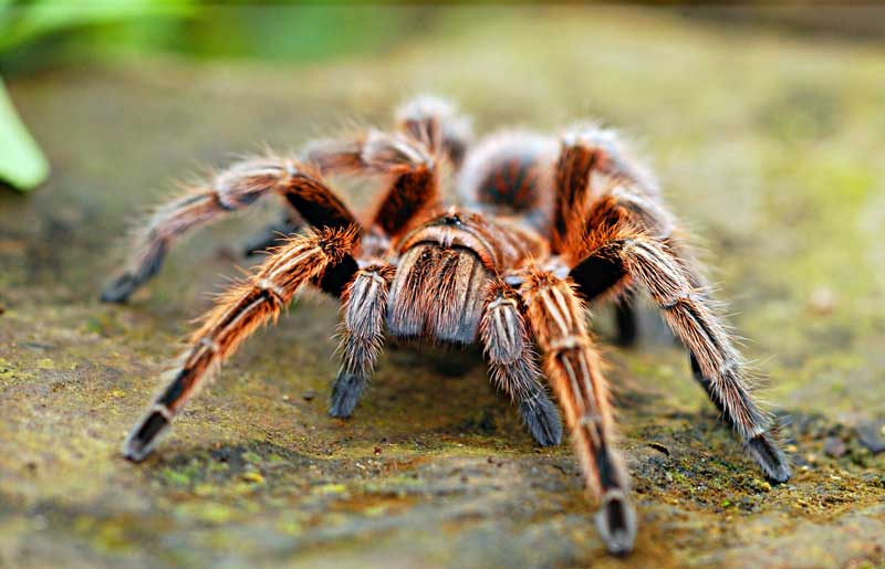 large-spider
