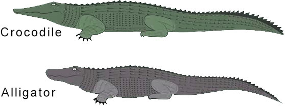 crocodile-vs-alligator