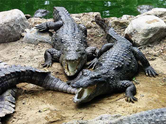 crocodiles-in-swamp