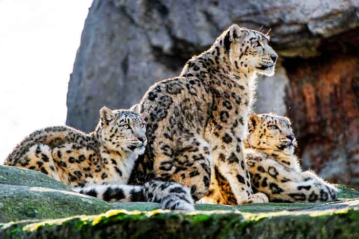 leopard-family