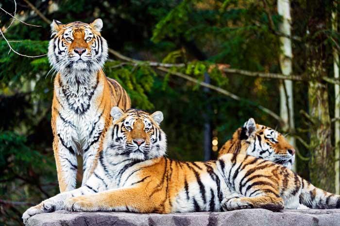 tiger-family
