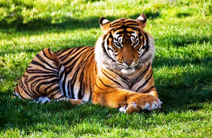 tiger-sitting-on-grass