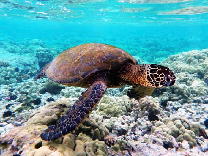 turtle-over-coral-reef