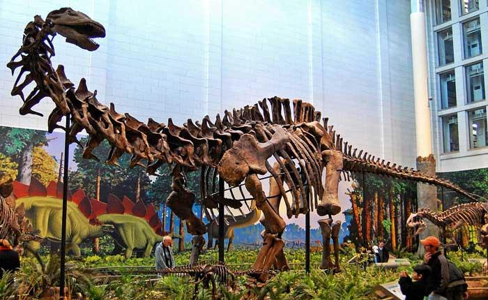 Apatosaurus-skeleton-museum