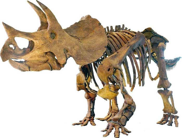 triceratops-skeleton