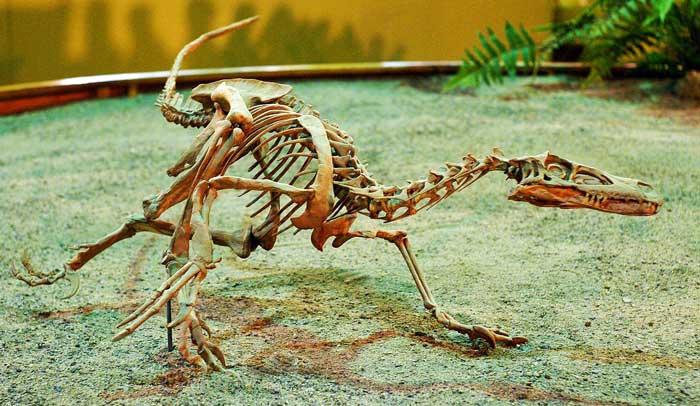 velociraptor-skeleton