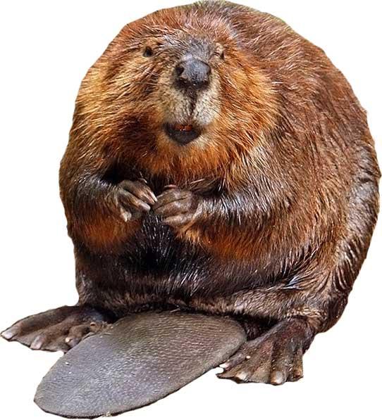 Beaver-American