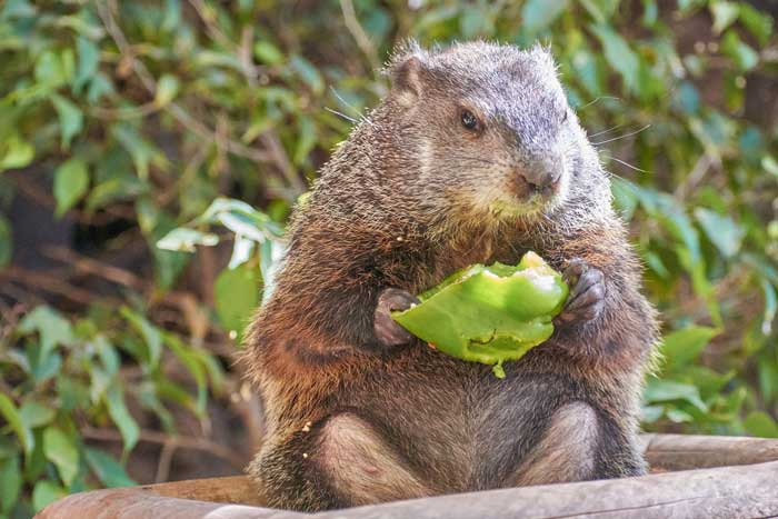 beaver-eating-food