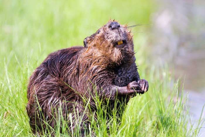 beaver-in-a-forest