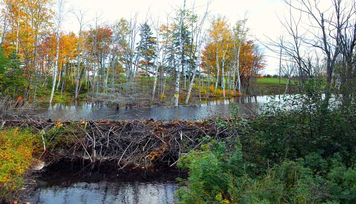 dam-built-by-beavers