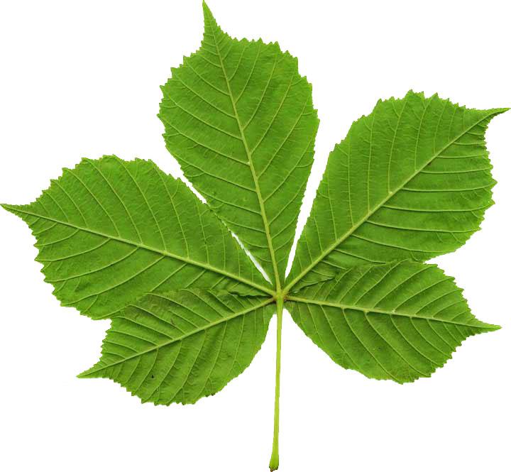 compound-leaf-chestnut