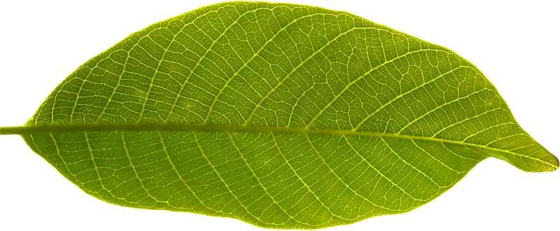 simple-leaf