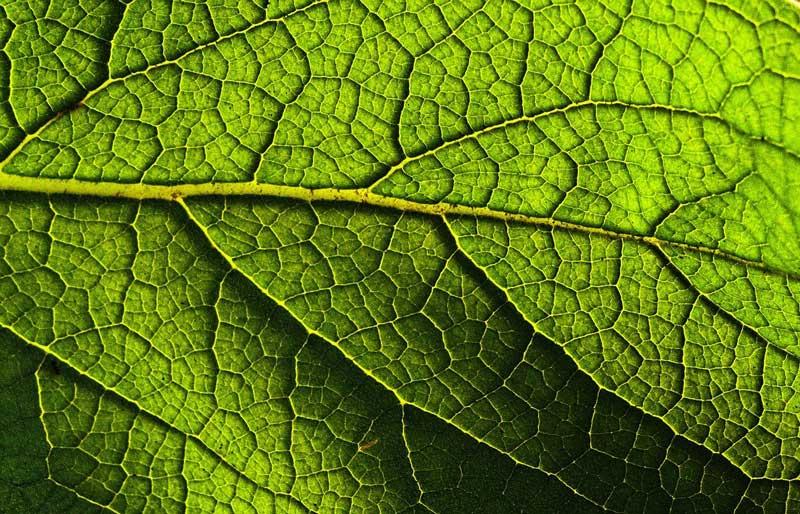 venation-of-a-leaf